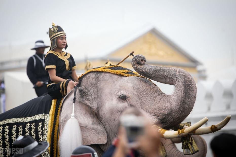วังช้างแลเพนียดพระนครศรีอยุธยา นำช้าง 10 เชือก เข้าร่วมแสดงความอาลัยพระบาทสมเด็จพระปรมินทรมหาภูมิพลอดุลยเดช